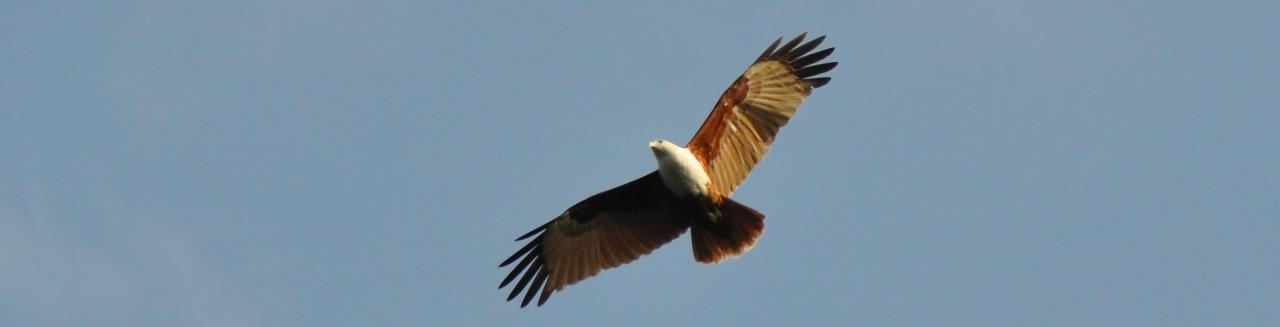 Weissbauch-Adler über uns